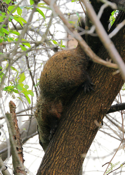 This is not the best photo in the world but I have NEVER seen this before. A Woodchuck in a tree??? This is why a picture is worth 1000 words!!!
