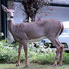 white tail deer, doe,