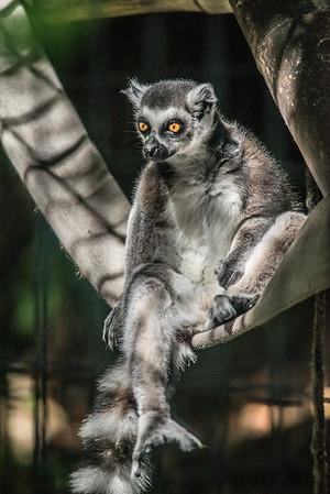 Ringtail at Naples Zoo