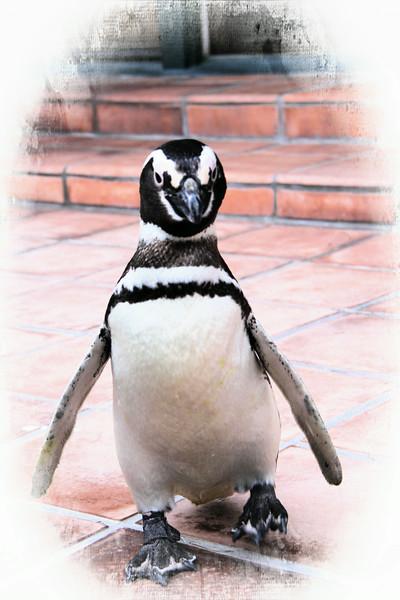 Sea World 's Pete the Penguin
