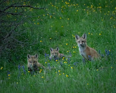 Three Fox Kits