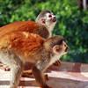 Precious Squirrel monkeys