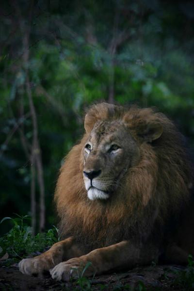 King of the jungle, Entebee Zoo Uganda Africa