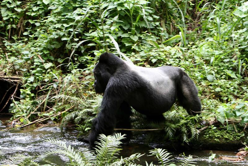 Silver Back Mountain Gorilla