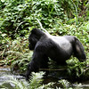 Silver Back Mountain Gorilla