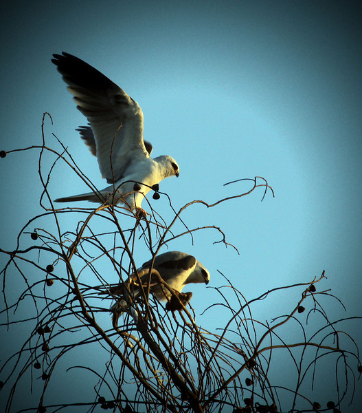 White tailed Kites