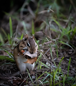 Chipmunk with Leaf