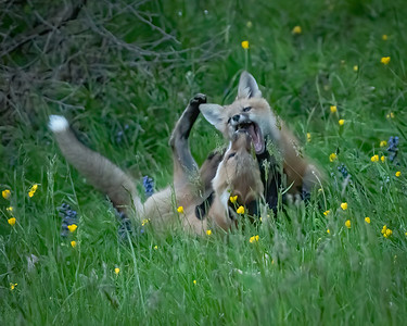 Fox Siblings Roughhousing