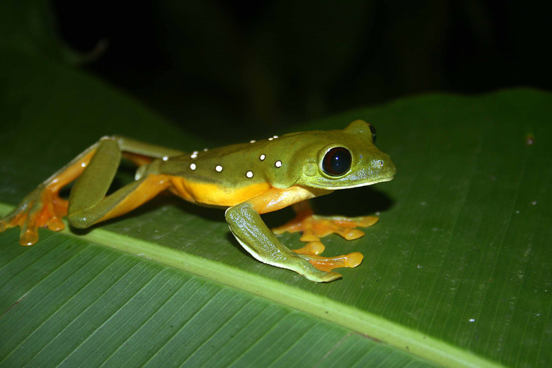 Costa Rica frog hunting