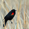 Del Mar Lagoon, black bird