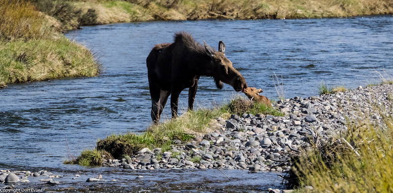 Mom and baby moose