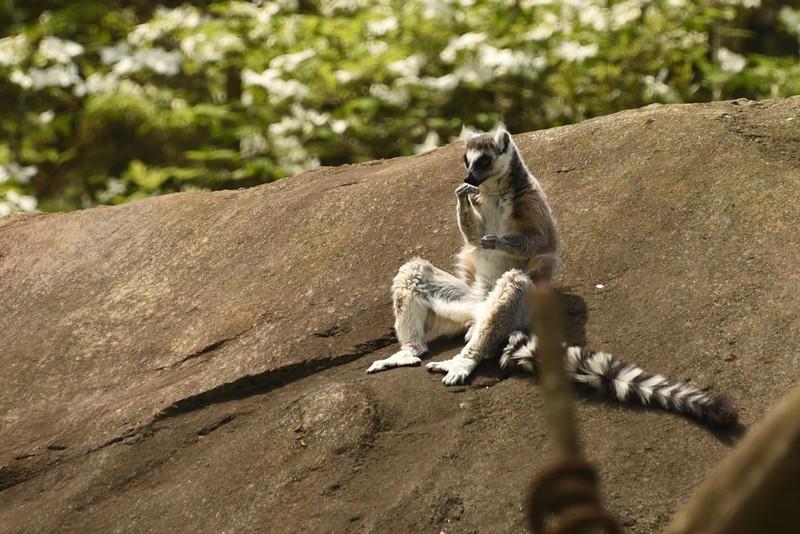 Lemur Chilling