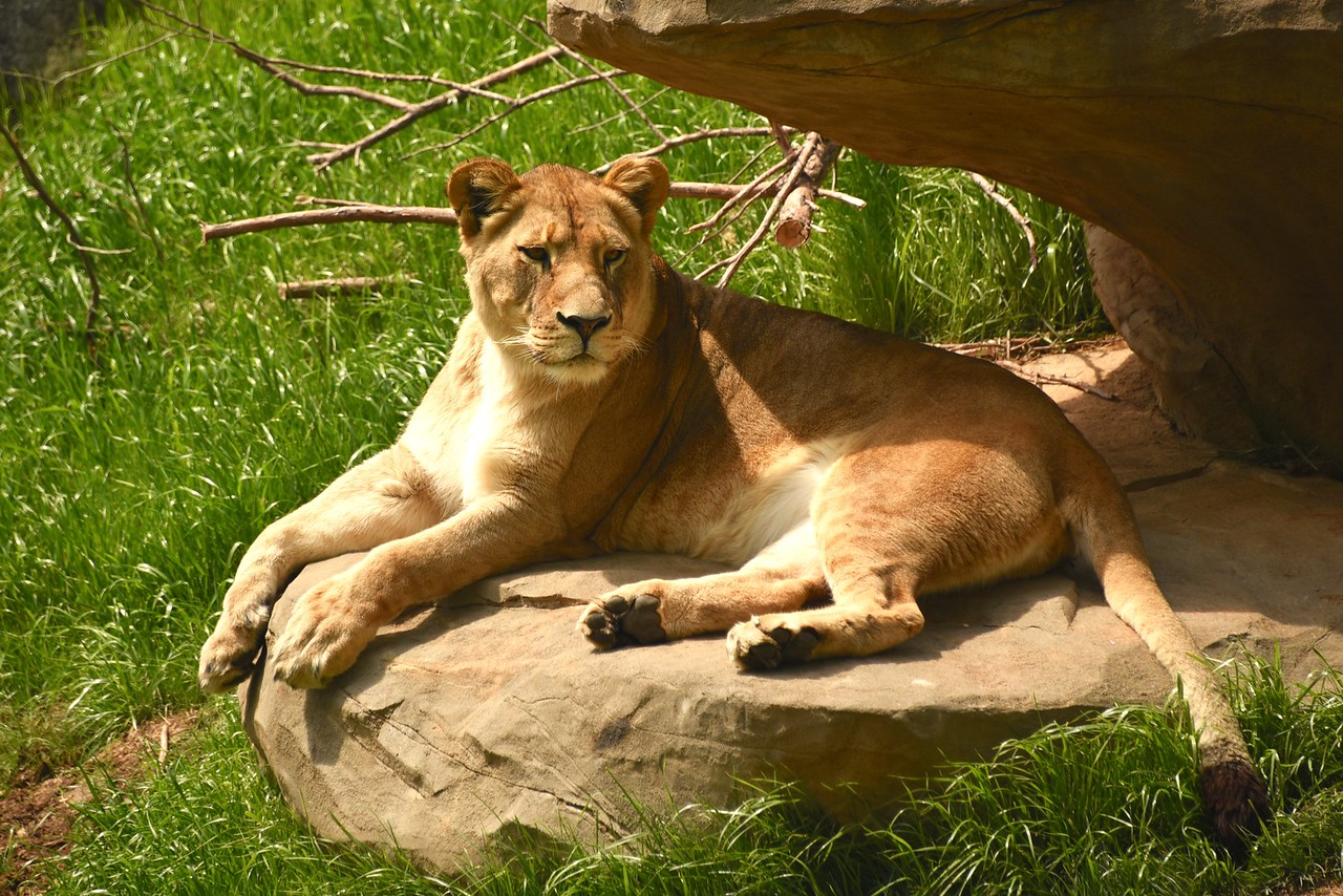 Lioness on Her Throne