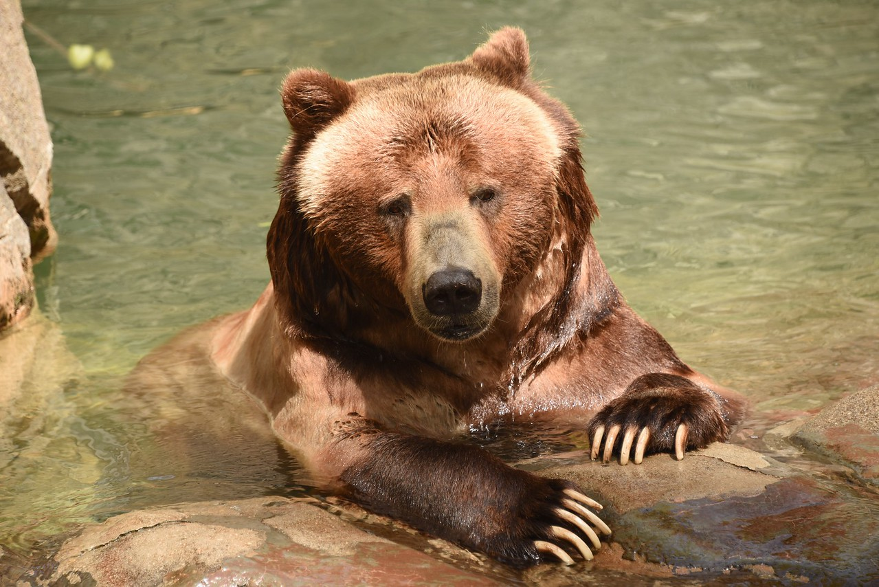 Grizzly Modeling