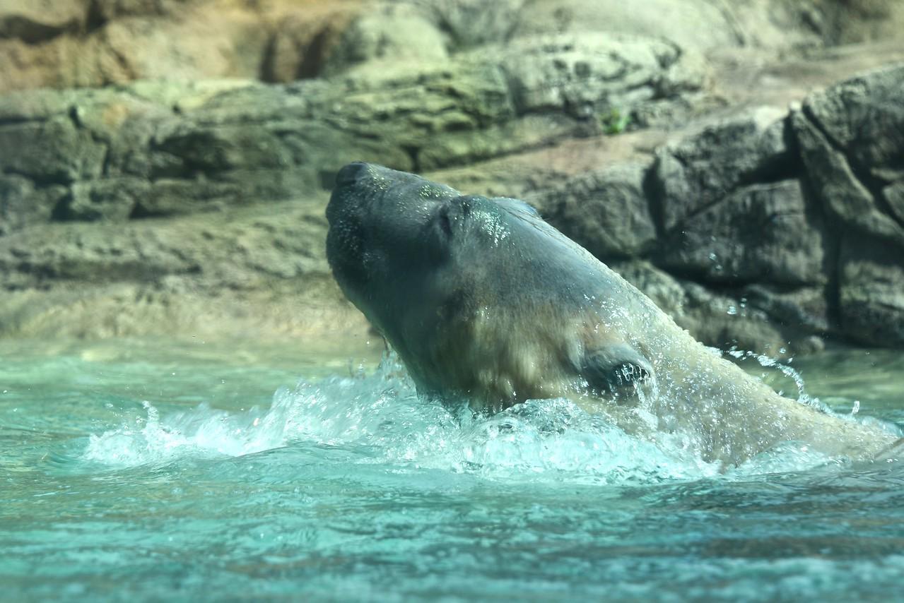 Polar Bear Surfacing
