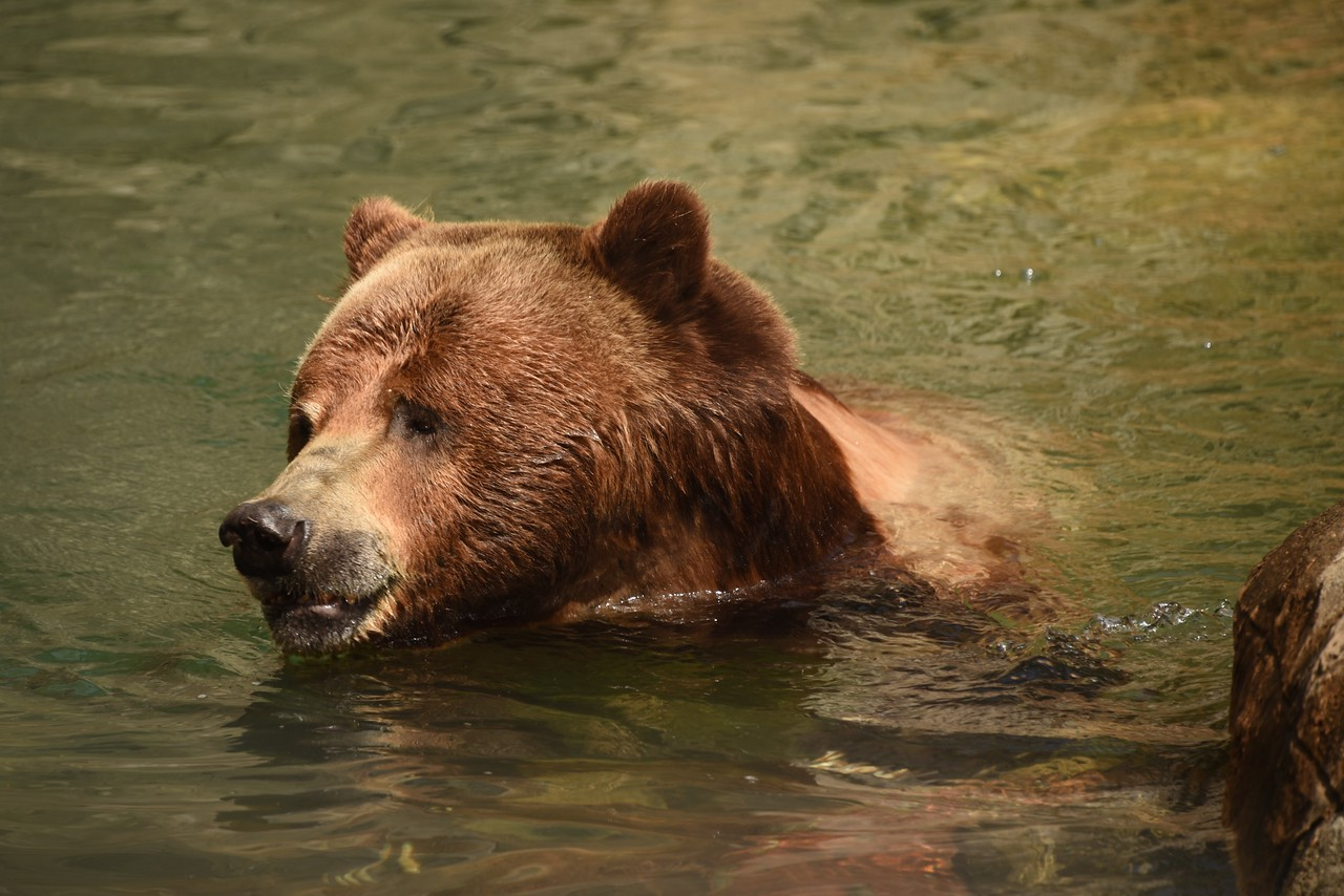Grizzly Out for a Swim
