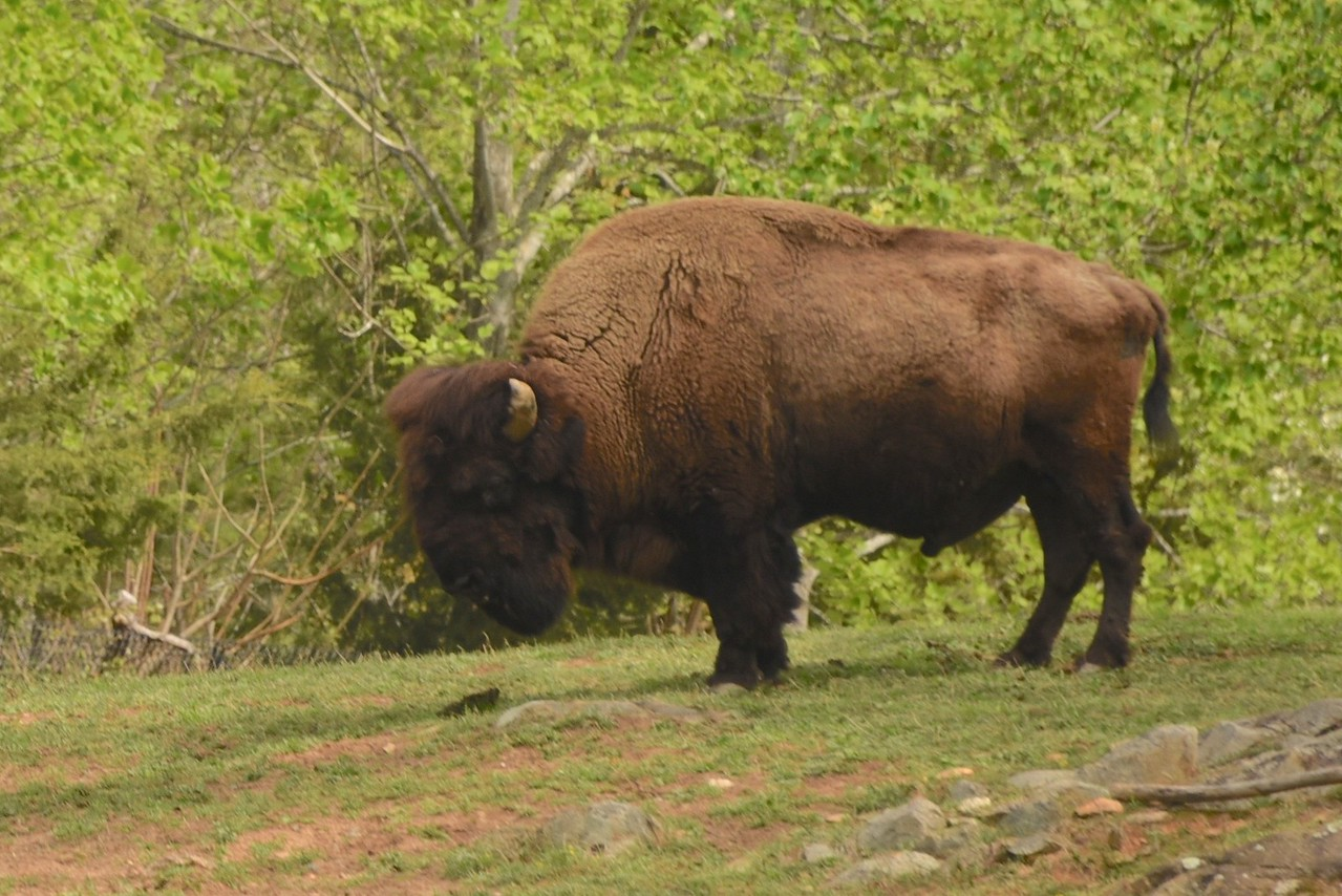 Bison Domain