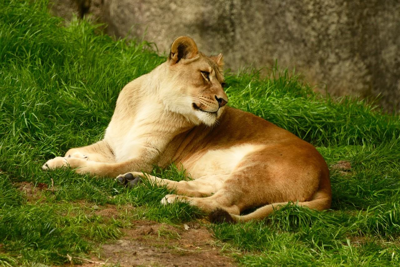 Posing Lioness
