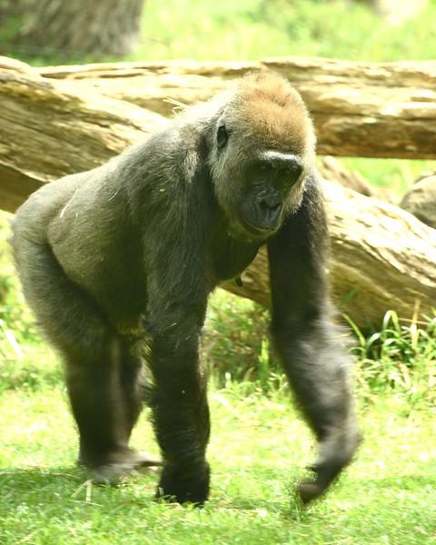 Pensive Gorilla
