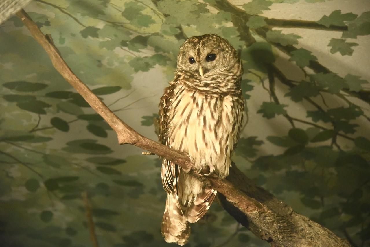 Awakened Barred Owl
