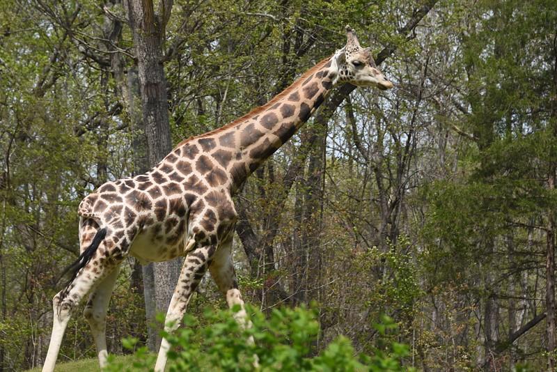 A Young Giraffe
