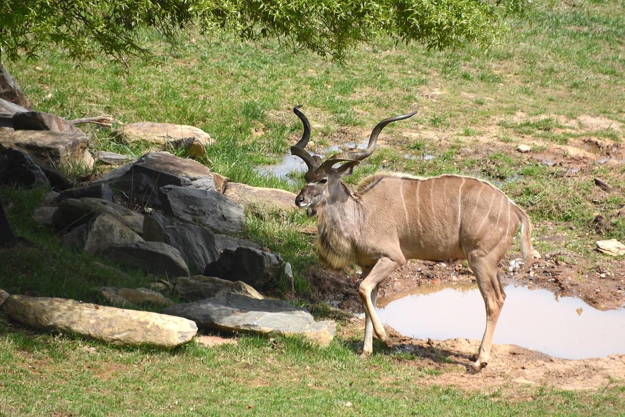 The Regal Kudu