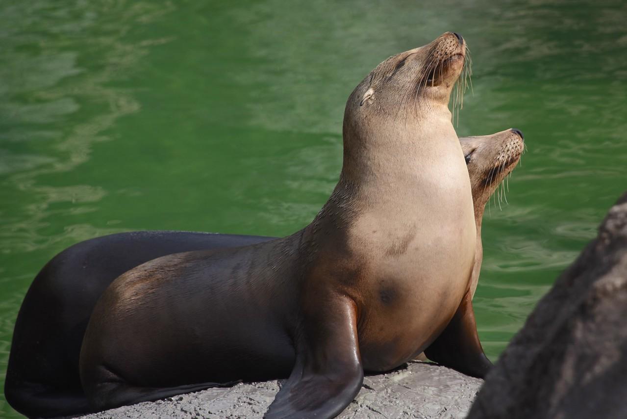 Sea Lion Vanity Pose