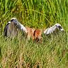 Juvenile (Colt) Whooping Crane