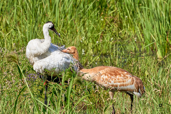 Juvenile (Colt) and Adult Whooping Crane