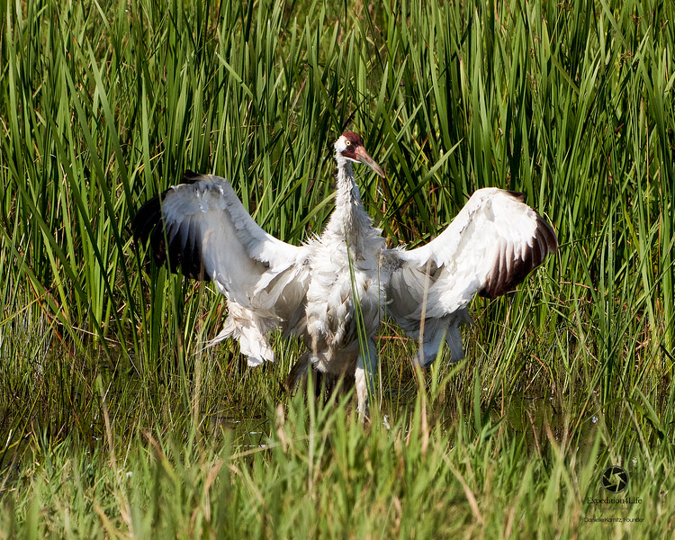 Adult Whooping Crane