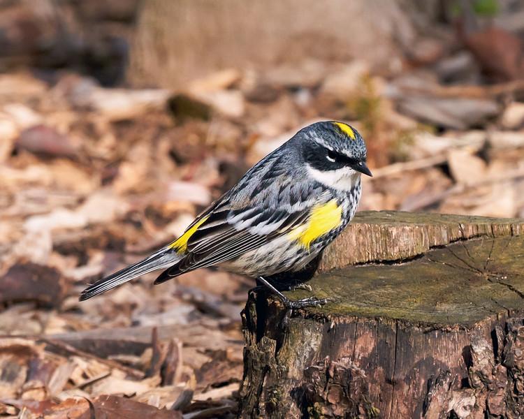 Yellow-Rumped Warbler (Setophaga Coronate)