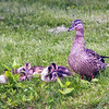Female mallard guards napping ducklings