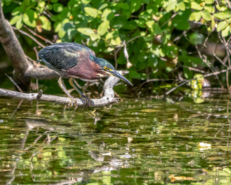 Green Heron Watching a fish