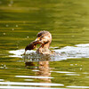 Pie-billed Grebe with Cray Fish
