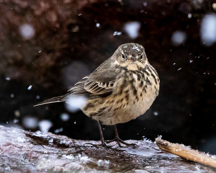American Pipit on a Snowy Day