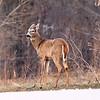 Female (Doe) White Tailed Deer