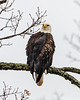 """Bald Eagle (Haliaeetus leucocephalus) """"Perched on a branch Looking  Left"""" """"[2019112]"""