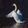 Mute Swan exercising Wings