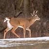 Male (Buck) White Tailed Deer