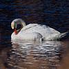 Mute Swan preening Feathers