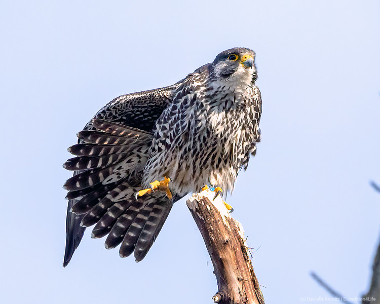 Peregrine Falcon perched on a Branch on One Leg