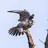 Peregrine Falcon perched on a Branch  with Wings Extended