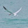 20200415 – Caspian Tern in Flight (Hydroprogne caspia)