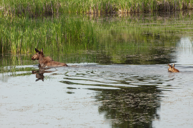 Moose Swimming with Calf - Riding Mountain National Park, Manitoba