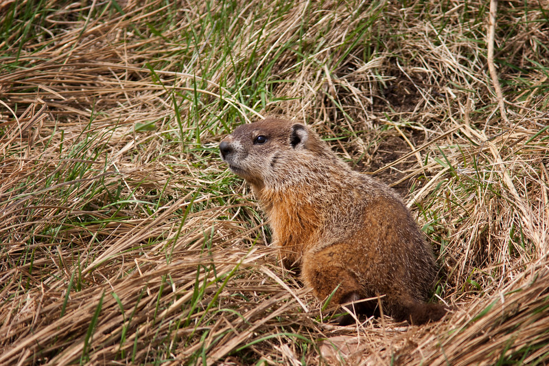Groundhog outside its burrow, Amherst, Nova Scotia