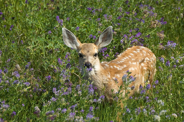 Mule Deer Fawn - Grasslands National Park, Saskatchewan
