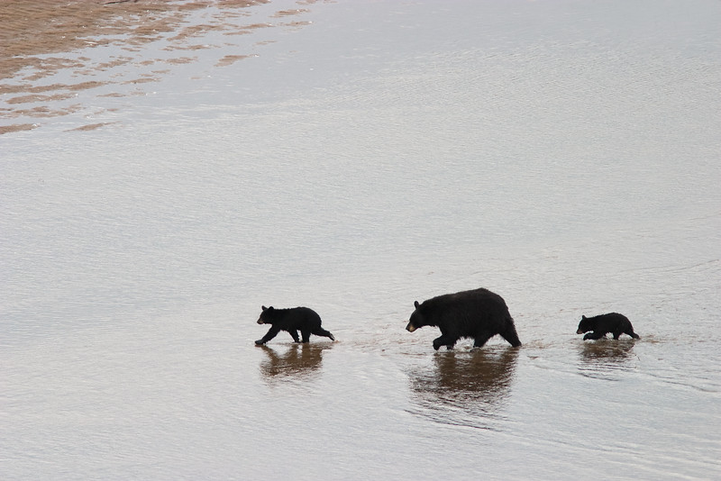 Mother Black Bear with Cubs Crossing the Goose River, Labrador