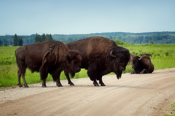 Plains Bison - Riding Mountain National Park, Manitoba