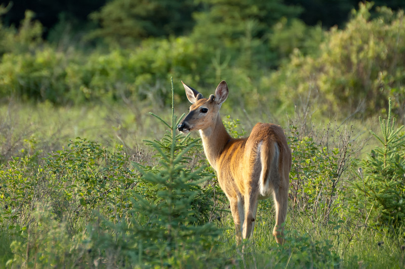 White-tailed Deer - Riding Mountain National Park, Manitoba