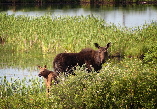 Moose with Calf - Riding Mountain National Park, Manitoba